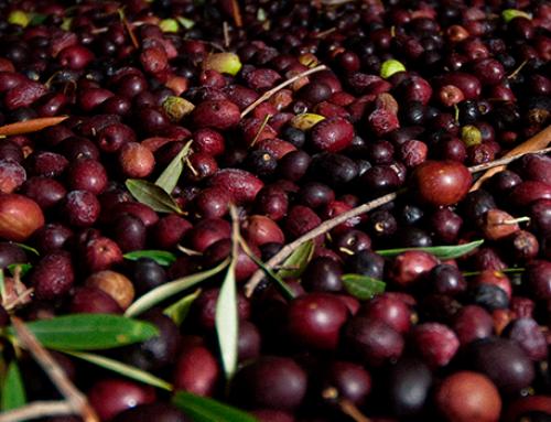 Aceite de Oliva del Valle del Huasco es reconocido como Denominación de Origen por INAPI